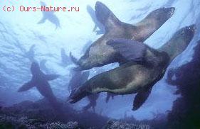 Тюлени ушастые (Otariidae)