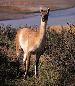 Верблюдовые (Camelidae)