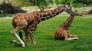 Жирафовые (Giraffidae)