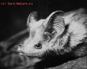 Свободнохвостые (Rhinopomidae)