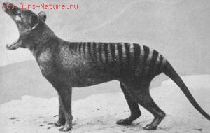 Волки сумчатые (Thylacinidae)