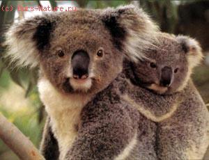 Коала, или сумчатые медведи (Phascolarctidae)
