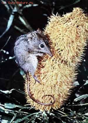 Поссумы (Phalangeridae)