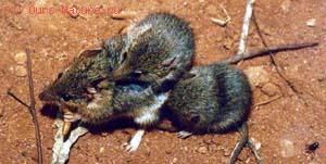 Хищные сумчатые (Dasyuridae)