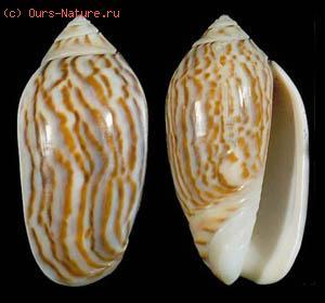 Оливиды (Olividae)