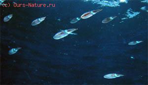 Лолигиниды (Loliginidae)