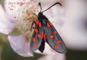 Бабочки-пестрянки (Zygaenidae)