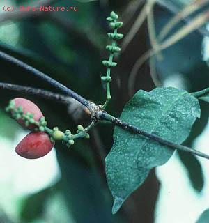 Гнетовые (Gnetaceae)