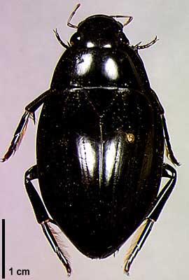 Водолюбы (Hydrophilidae)
