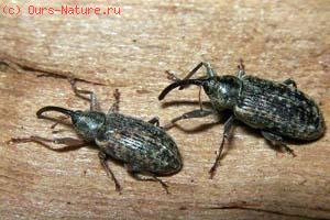 Долгоносики (Curculionidae)