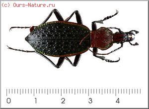 Жужелицы (Carabidae)