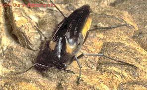 Жуки веероусые (Rhipiphoridae)