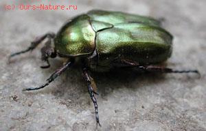 Жуки пластинчатоусые (Scarabaeidae)