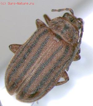 Жуки-листоеды (Chrysomelidae)
