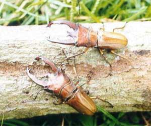 Жуки-олени (Lucanidae)