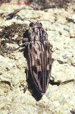 Златки (Buprestidae)