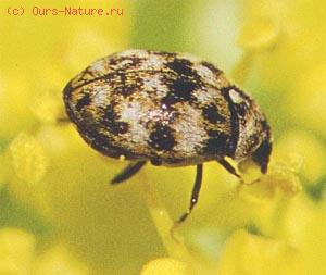 Кожееды (Dermestidae)