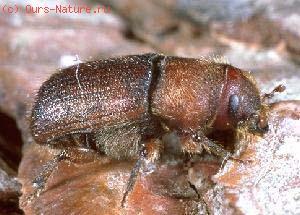Короеды (Scolytidae)