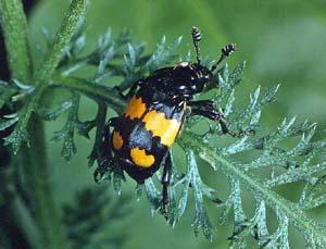 Мертвоеды (Silphidae)