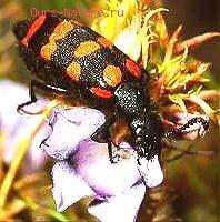 Нарывники (Meloidae)