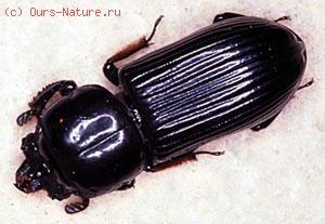 Пассалиды (Passalidae)