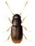 Перистокрылки (Ptiliidae)