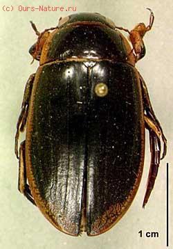 Плавунцы (Dytiscidae)