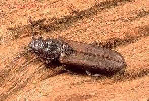Плоскотелки (Cucujidae)