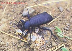 Чернотелки (Tenebrionidae)