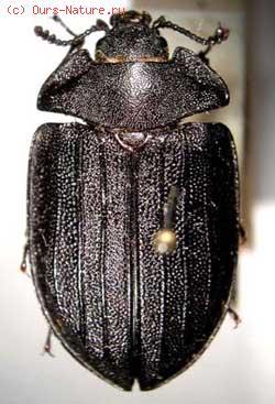 Щитовидки (Ostomatidae)