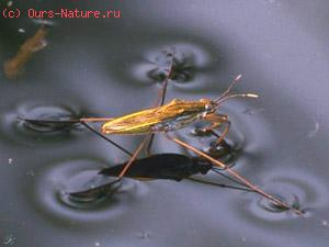 Водомерки (Gerridae)