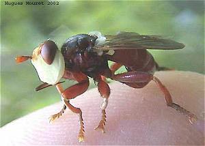 Большеголовки (Conopidae)