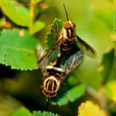 Длиннохоботницы (Nemestrinidae)