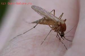 Комары (Culicidae)