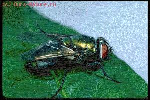 Мухи (Muscidae)