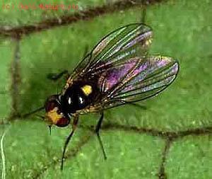 Мухи минирующие (Agromyzidae)