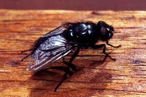 Мухи падальные (Calliphoridae)