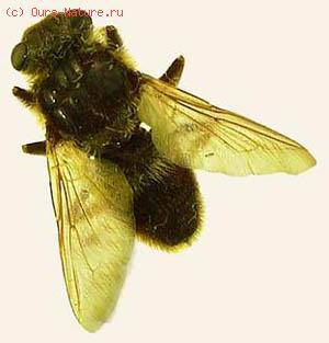 Оводы носоглоточные (Oestridae)