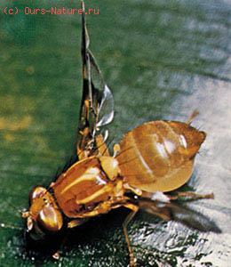 Пестрокрылки (Trypetidae)