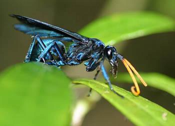 Осы дорожные (Pompilidae)