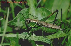Кузнечики (Tettigoniidae)