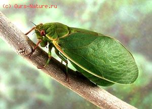 Цикады настоящие (Cicadidae)