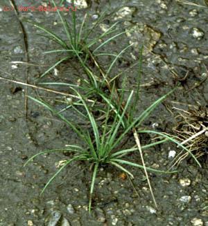Полушниковые (Isoetaceae)