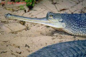Гавиаловые (Gavialidae)