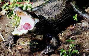 Крокодилы настоящие (Crocodylidae)