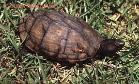 Черепахи большеголовые (Platysternidae)