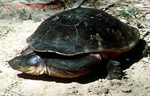 Черепахи змеиношейные (Chelidae)