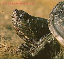 Черепахи каймановые (Chelydridae)