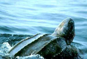 Черепахи кожистые (Dermochelyidae)