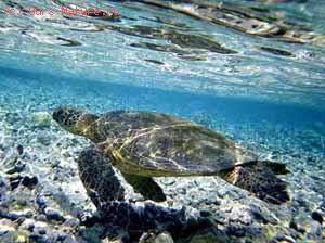 Черепахи морские (Cheloniidea)